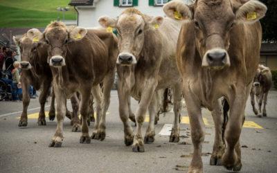 Viehschau Heiden 2016 – Gelebte Tradition